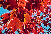 photo of maple leaves